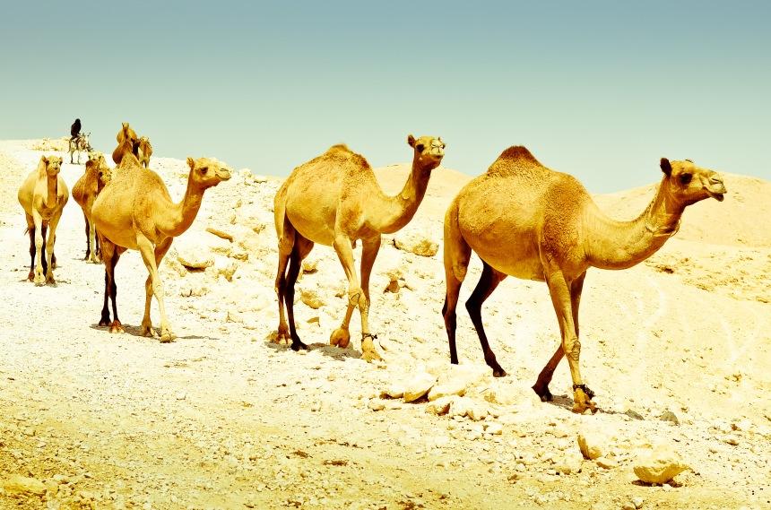 desert-camel-mammal-nikon-fauna-50mm-410437-pxhere.com